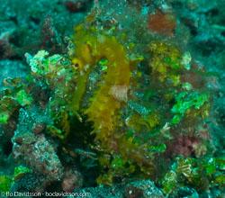 BD-090927-Lembeh-9274467-Hippocampus-kuda.-Bleeker.-1852-[Spotted-seahorse.-Gul-sjöhäst].jpg